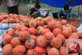 Harga Tomat di Pangkalpinang Bertahan Tinggi