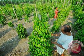 Pemerintah Kabupaten Bangka Ingatkan Petani Tunda Jual Lada