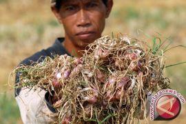 Petani bawang merah Bangka Tengah keluhkan kondisi bibit