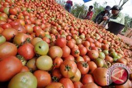 Harga Tomat di Pangkalpinang Naik
