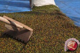 Produksi lada Bangka Tengah hanya 0,56 kilogram