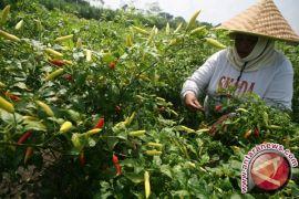 Musim kemarau tidak pengaruhi tanaman cabai petani