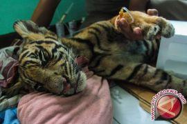 FHK: Ancaman Bagi Harimau Sumatera Masih Tinggi