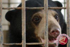 BKSDA Kaltim Ungkap Perdagangan Organ Beruang Madu