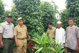 Petani lada Bangka Tengah dianjurkan pakai trichoderma