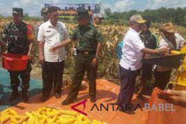 Pemkab Bangka-TNI AD panen jagung perdana