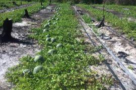 Pokdarwis mitra Timah panen semangka 15 ton