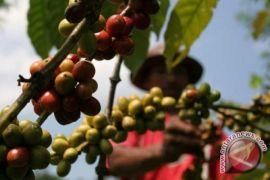 BUMDes kembangkan kopi di lahan bekas tambang