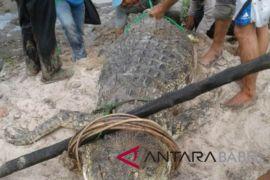 Buaya raksasa resahkan warga Bangka akhirnya tertangkap-mati