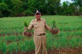 Desa Cambai Bangka Tengah jadi sentra bawang merah
