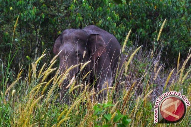 Bengkulu Inisiasi Koridor Gajah di Bentang Kerinci Seblat
