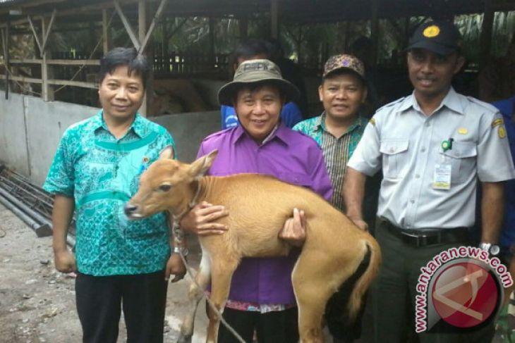 Program penggemukan sapi di Bangka Tengah banyak dicontoh daerah lain