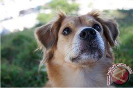 Pemkab Gianyar Lakukan Eliminasi Anjing Liar