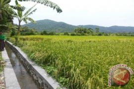 Buleleng kembangkan padi jenis Sidenuk
