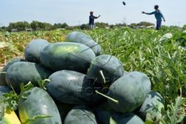 Petani Semangka Buleleng Terkendala Pemasaran