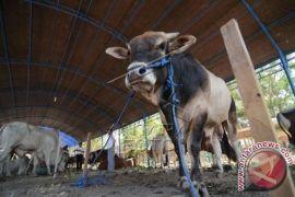 Populasi sapi ternak Gianyar 45.000 ekor