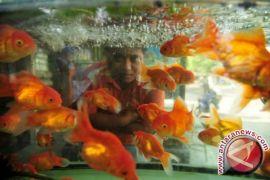 Indonesia menuju eksportir ikan hias terkemuka
