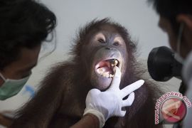 Bali Zoo periksa kesehatan orangutan
