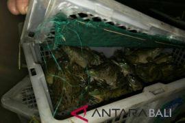 Ratusan Kodok tanpa dokumen gagal masuk Bali