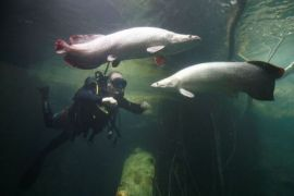 Menteri Susi ingatkan bahaya Ikan Arapaima