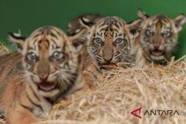 Tiga harimau Sumatera lahir di Bali Zoo