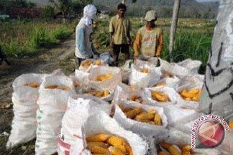 Pemprov Bali galakan tumpangsari jagung dan kedelai