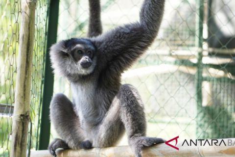 Pulang kampung, Bali Zoo siap lepasliarkan owa Jawa