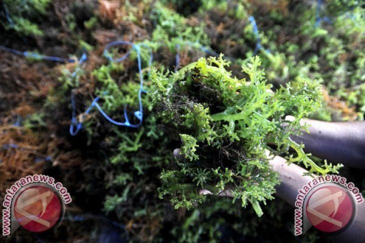 Astruli: data rumput laut KKP-BPS perlu disamakan