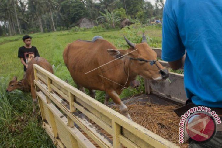 Desa Bontihing Buleleng kembangkan peternakan sapi