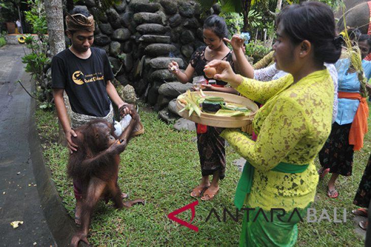 Ritual suci khusus hewan di Bali (video)