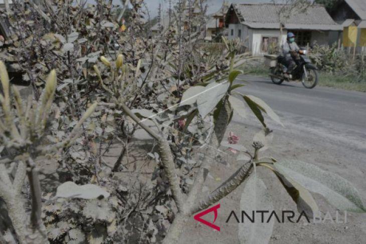 Lahan pertanian warga Bangli-Karangasem terpapar abu Gunung Agung