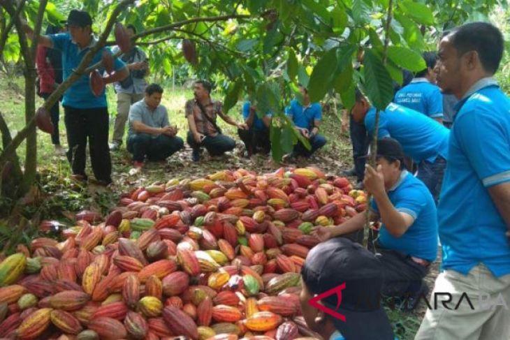 Mutu kakao Jembrana menarik petani Sulawesi