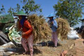 Harga Gabah Kering Panen di Banten Naik 6 Persen