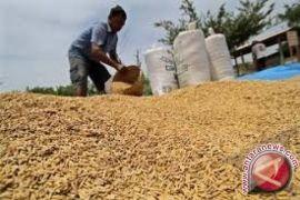 Harga Gabah Di Banten Menggembirakan Petani