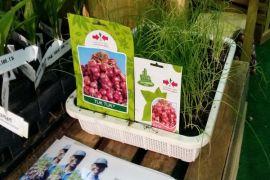 Petani Bawang Merah Brebes Andalkan Benih Unggul