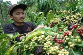 Petani Lebak Diminta Tingkatkan Produksi Kopi