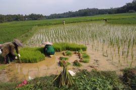 Kementan Puji Produksi Pangan Di Lebak Surplus