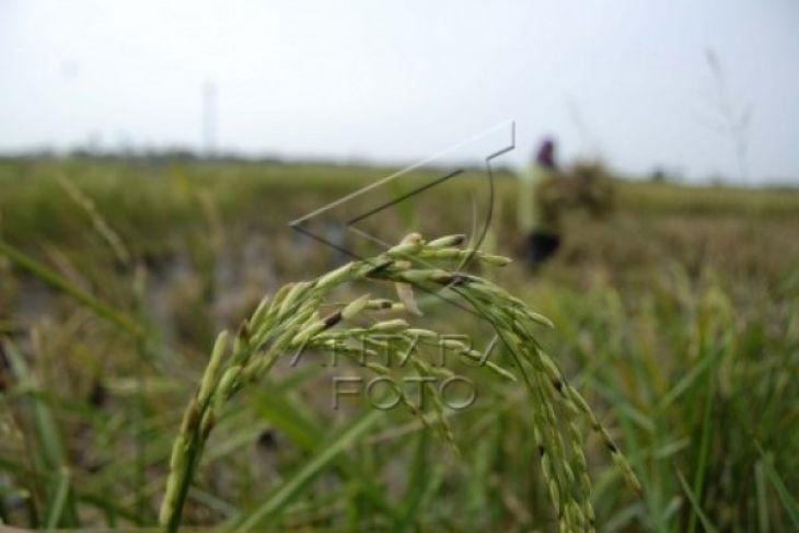 Produksi Panen Padi Di Lebak 16.242 Hektare