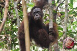 Bayi Orangutan Sumatera Tiba Di Pusat Satwa Liar Thailand