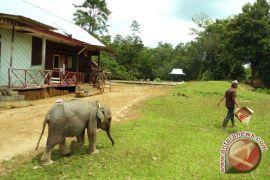 Akademisi : Perambahan hutan hilangkan habitat gajah Bengkulu