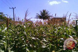 Mayoritas petani Mukomuko tanam jagung di kebun sawit
