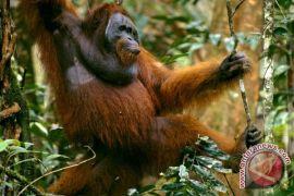 Ekowisata Orangutan Tanjungputing terancam perkebunan sawit