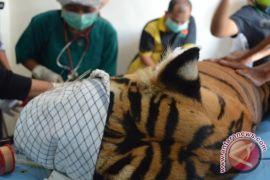 BKSDA rawat dua Harimau Sumatera korban konflik