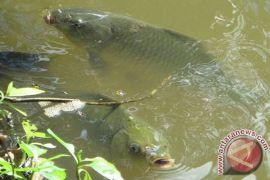 Belasan kolam ikan Mukomuko jebol akibat banjir