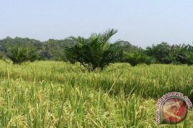 Mayoritas lahan kering Mukomuko ditanami padi gogo