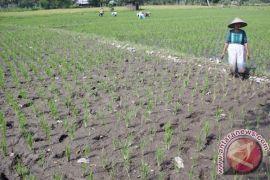 Petani Sawah Tadah Hujan Terima Selang Air