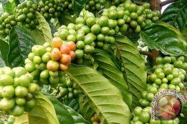 Disperindag Kaur dorong penyerapan kopi robusta lokal
