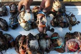 Danlanal: Tambak kepiting potensi jadi wisata edukasi