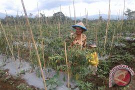 Realisasi Lahan Untuk Tanaman Cabai 40 Hektare