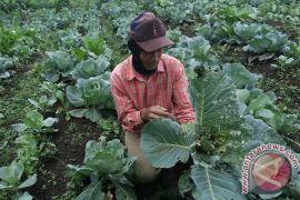 Petani Sayuran Keluhkan Serangan Ulat Grayak